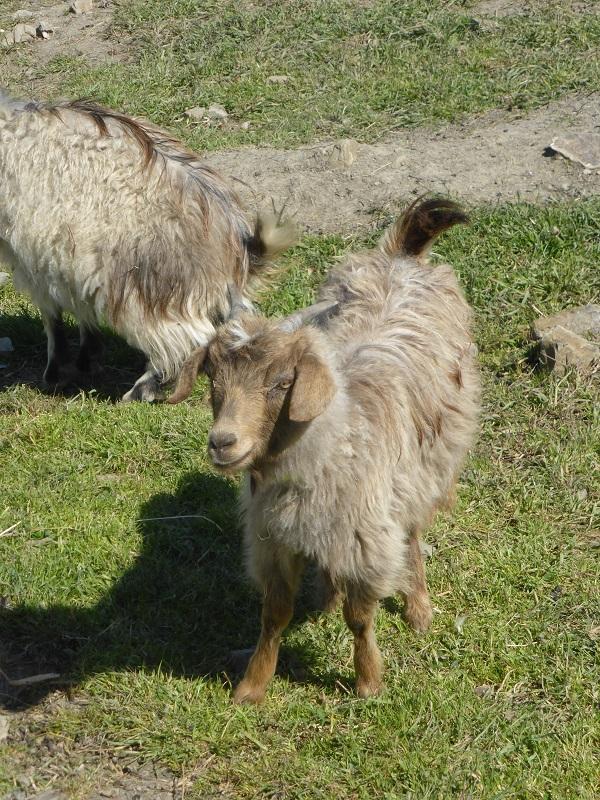 Chianti-Cashmere-geiten-kasjmier-Toscane (18)