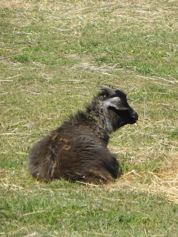 Chianti-Cashmere-geiten-kasjmier-Toscane (21)
