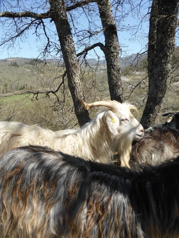 Chianti-Cashmere-geiten-kasjmier-Toscane (26)