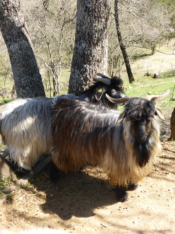 Chianti-Cashmere-geiten-kasjmier-Toscane (28)