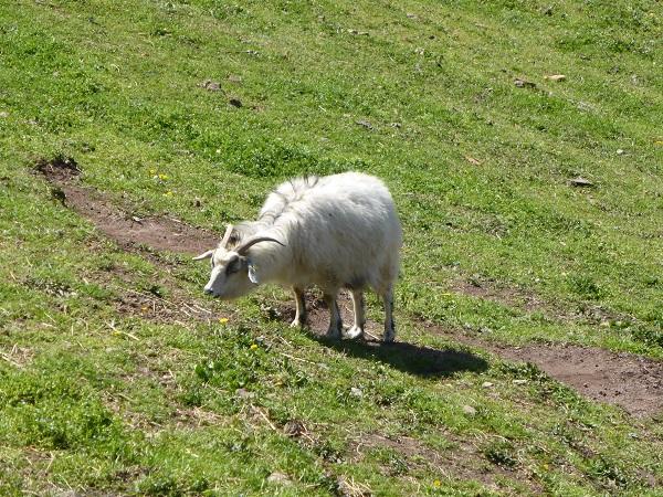 Chianti-Cashmere-geiten-kasjmier-Toscane (30)