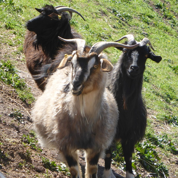 Chianti-Cashmere-geiten-kasjmier-Toscane (32)