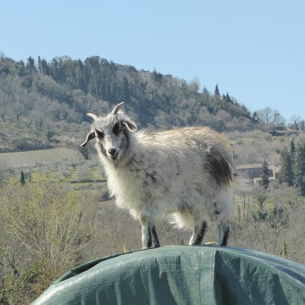 Chianti-Cashmere-geiten-kasjmier-Toscane (8)