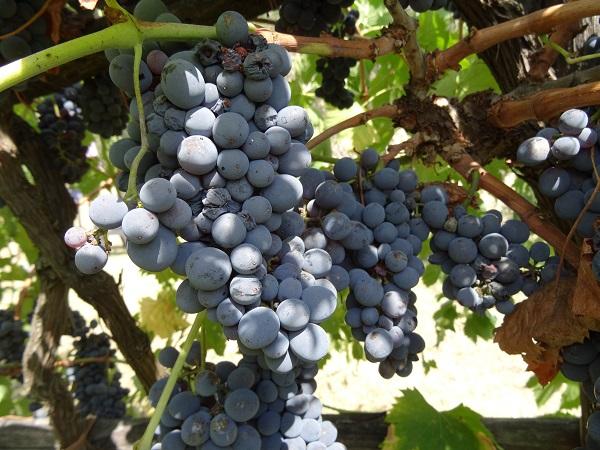 Fattoria-di-Montefiridolfi-wijn-Chianti-Toscane (4)