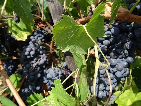 Fattoria-di-Montefiridolfi-wijn-Chianti-Toscane (5)