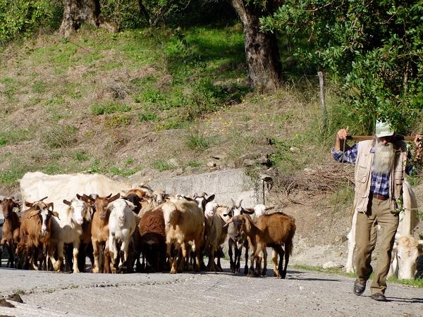 cilento-herder