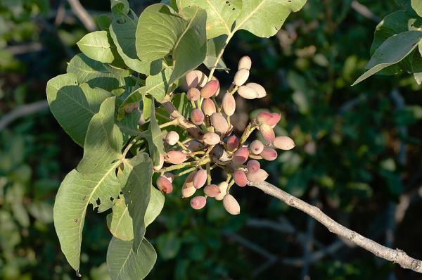 pistachenootjes-bronte-etna-sicilie