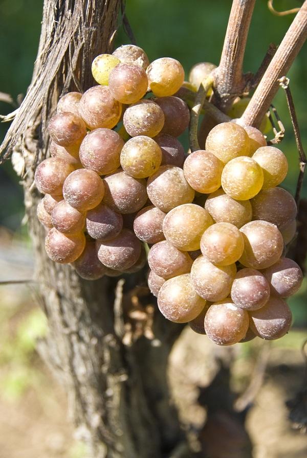Pinot Grigio uit Italië