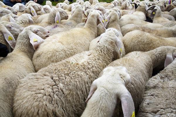 Abruzzo-schapen-transumanza