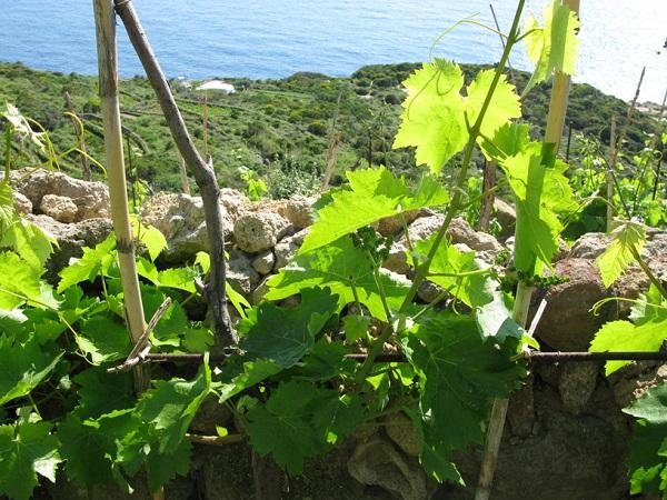 Antiche-Cantine-Migliaccio-Ponza-wijn (2)
