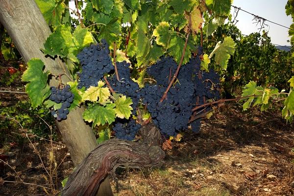 Badia-Coltibuono-wijngaard (1)
