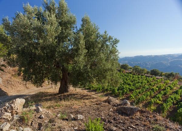 Calabrie-olijfolie (1)