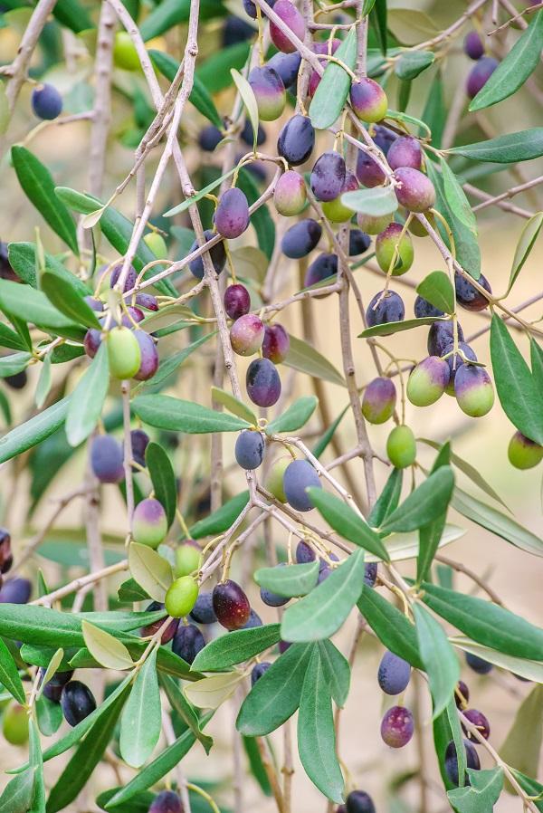 Calabrie-olijfolie (3)