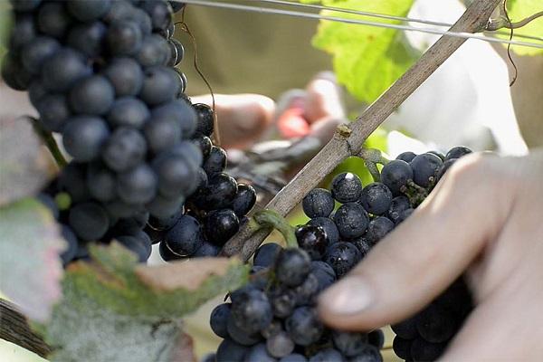 Cascina-Eugenia-Alessi-wijn-oogst (1)