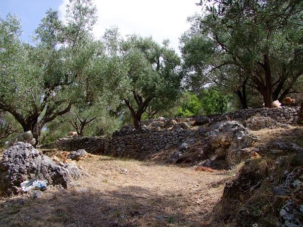 Cilento-olijfgaard