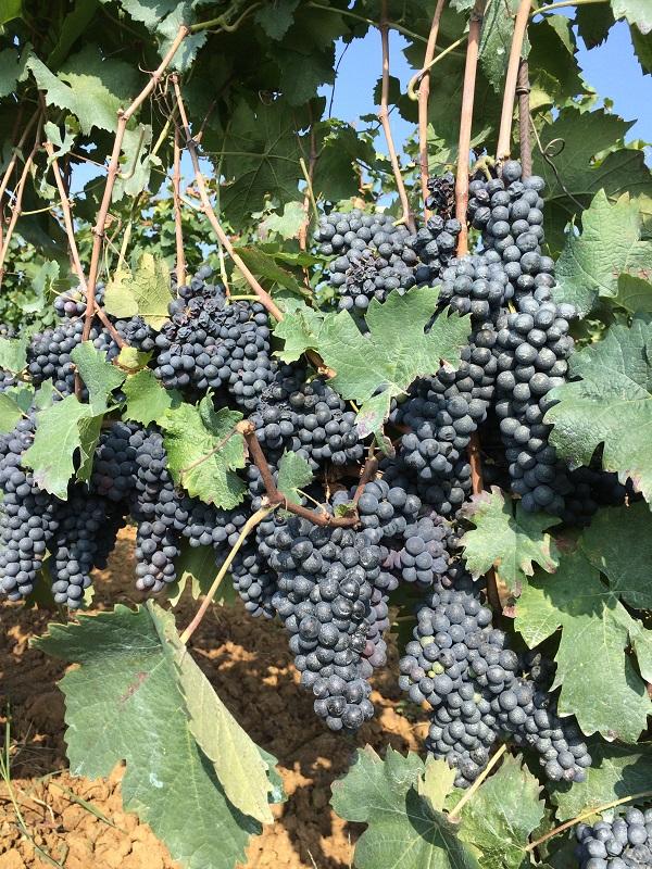 Cossetti-wijn-Piemonte (20)