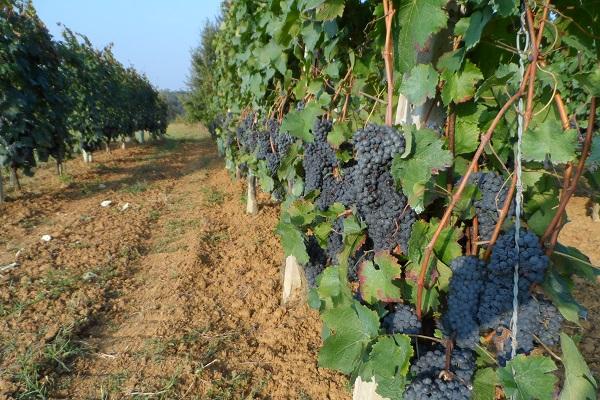 Cossetti-wijn-Piemonte (8)