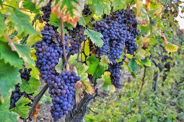 Druiven-piemonte