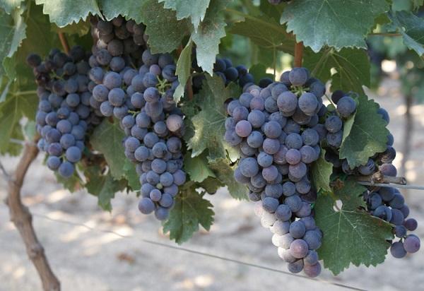 Druivenras Nero di Troia-1