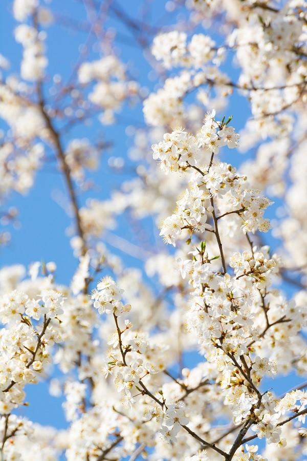 Italië-lente-bloesen