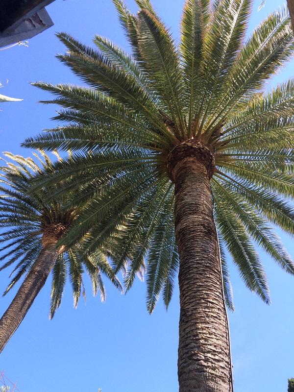 Levanto-kust-palmbomen