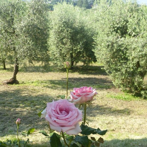 Manestrini-olijfolie-Gardameer (9)