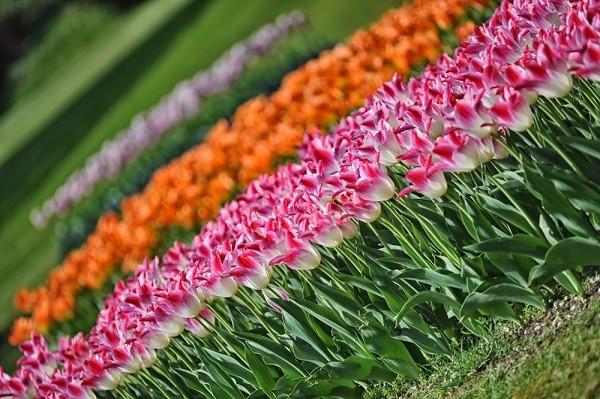 Parco-Giardino-Sigurta-Tulip-Mania-tulpen (1)