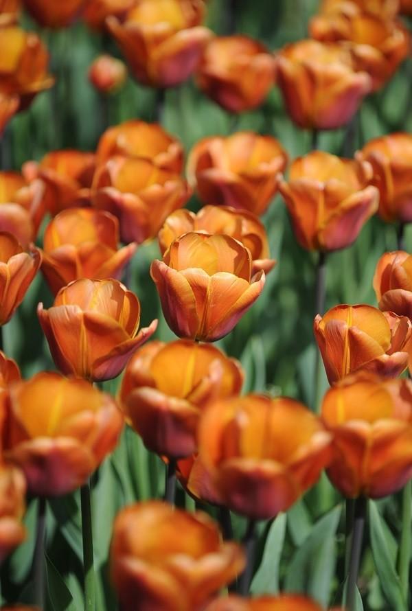 Parco-Giardino-Sigurta-Tulip-Mania-tulpen (2)