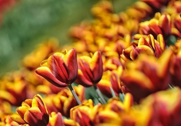Parco-Giardino-Sigurta-Tulip-Mania-tulpen (3)