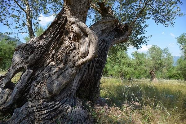 Parco-regionale-olivo-Venafro-Molise