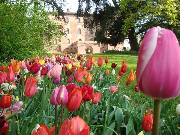 Piemonte-Messer-Tulipano (1)