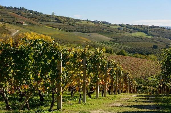 Piemonte-wijngaarden