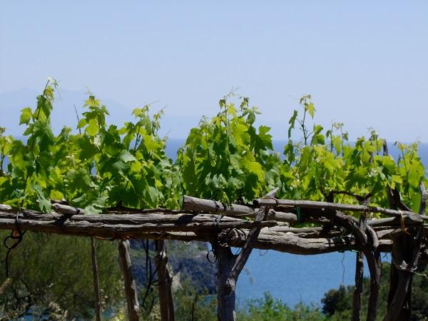 foto 7 wijnstok