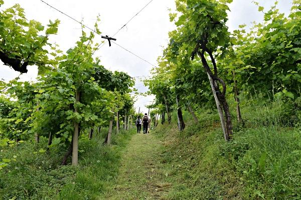 Rive-Vive-prosecco-wijngaarden-Veneto-feest-wandelen (5)