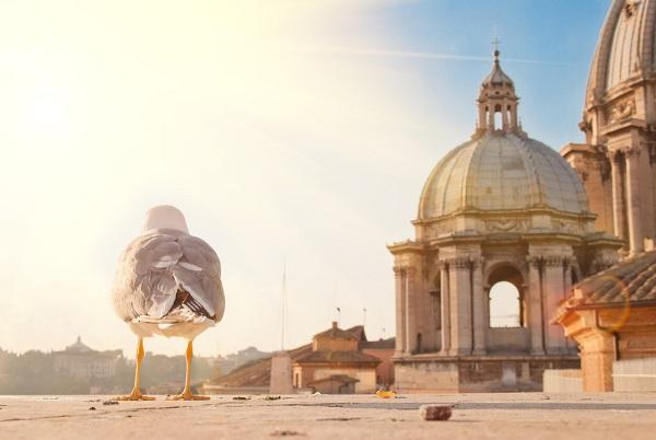 Rome-Sint-Pieter-meeuw