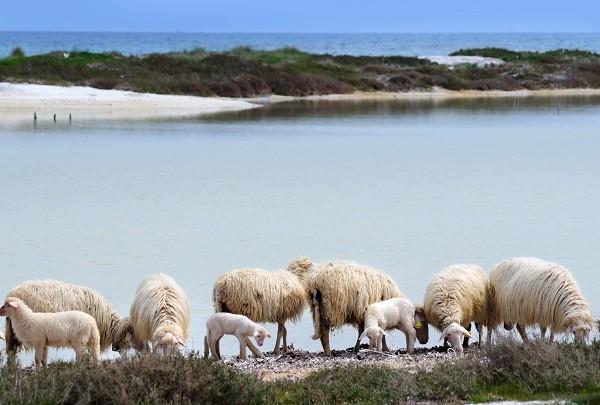 Sardinie-schapen-kaas