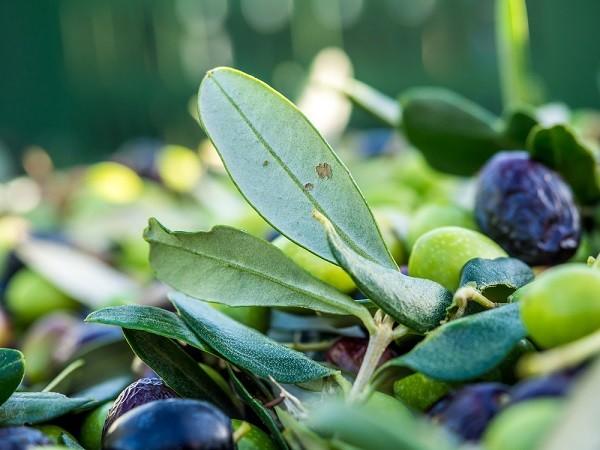 Trevi-Umbrië-olijven