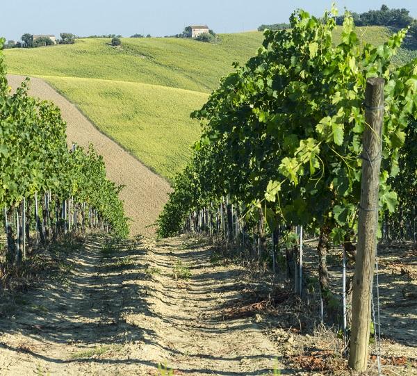 Verdicchio-Le-Marche