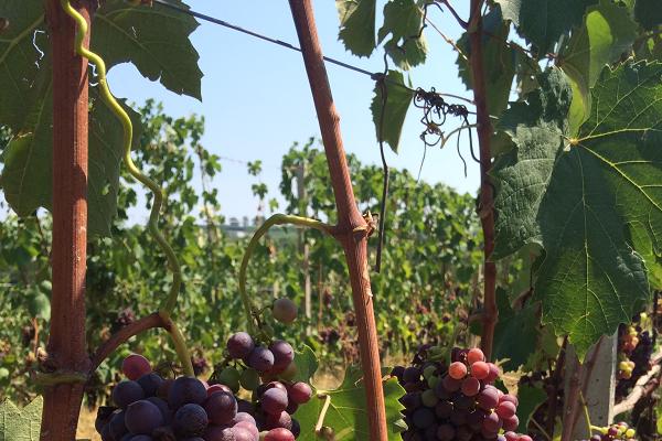 Wijngaarden-Allegrini