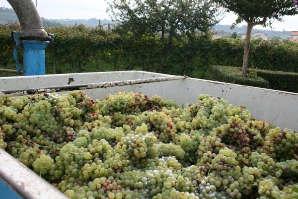 Wijnoogst-Toscane (1)