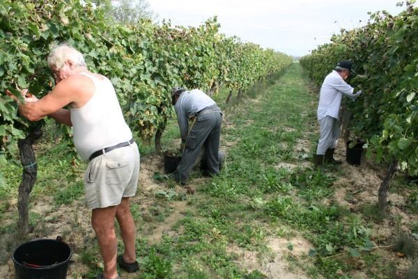 Wijnoogst-Toscane (13)