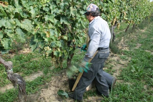 Wijnoogst-Toscane (14)