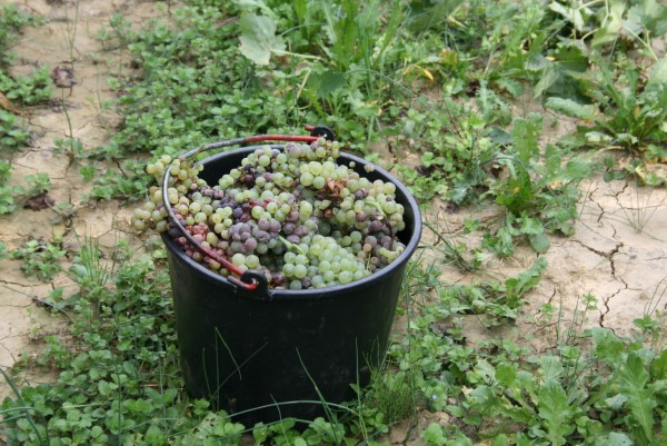 Wijnoogst-Toscane (16)