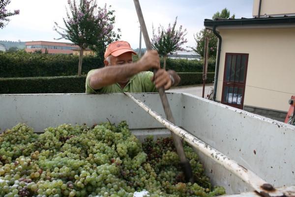 Wijnoogst-Toscane (3)