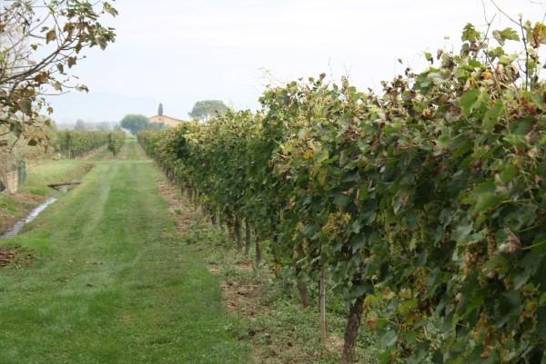 Wijnoogst-Toscane (4)
