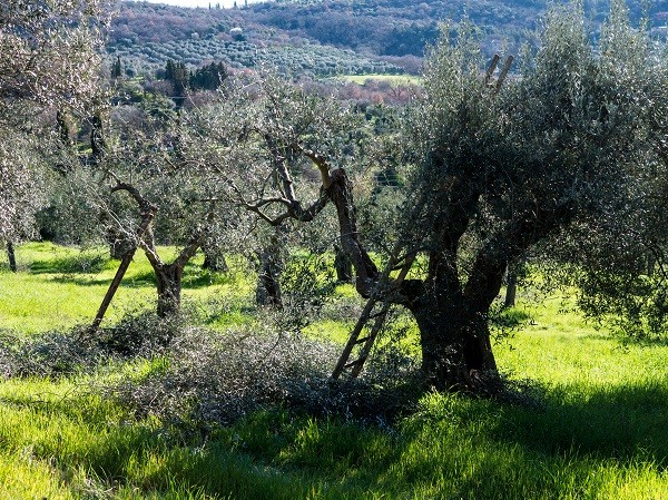 Olive trees being pruned and thinned in Italy