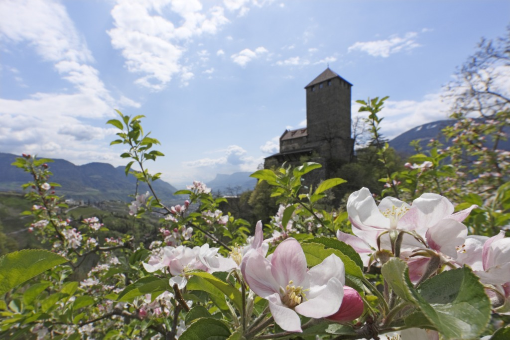 View of Tirol Castle above Merano/Meran in springtime. The apple blossom season is the most important in this area.
