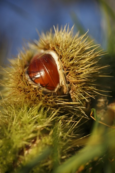 Once it was the basic foodstuff of the poor people of South Tyrol, used in place of wheat, bread and even coffee, but today the chestnut is a most popular dish.