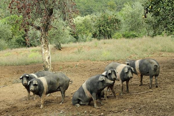 cinta-senese-varkens-Siena (1)