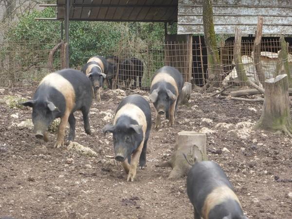 cinta-senese-varkens-Siena (10)